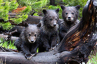 Grizzly Bear Babies
