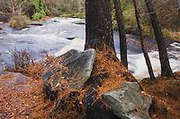 Loblolly Pine, North Carolina pine (Pinus taeda), Little River, Rolesville Mill pond Natural Area, Rolesville, North Carolina, USA