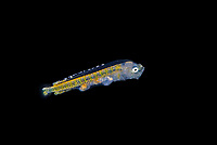 larval 1 cm long Mahi Mahi or Dolphinfish, Coryphaena hippurus, photographed during a Blackwater drift dive in open ocean at 20-40 feet with bottom at 500 plus feet below, Palm Beach, Florida, USA, Atlantic Ocean