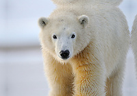 This cub is one of dozens of polar bears which gather near the community of Kaktovik, Alaska, on the northern edge of ANWR, waiting for the Arctic Ocean to freeze. The bears have become a symbol of global warming.