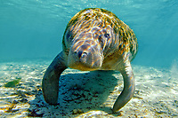 Florida manatee, Trichechus manatus latirostris, a subspecies of West Indian manatee, Trichechus manatus, Three Sisters Springs, Crystal River, Florida, USA