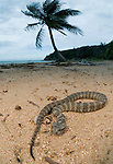 Common Death Adder (Acanthophis antarcticus) on sandy beach