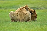 A Grizzly Bear sits and takes a rest near Kukak Bay, near Katmai National Park, Alaska, July 2007