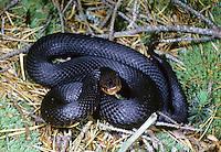 Kreuzotter, Kreuz-Otter, schwarz gefärbtes Exemplar, Höllenotter, Höllen-Otter, Bergviper, melanistische Färbung, Otter, Viper, Vipera berus, adder, common viper, common European viper