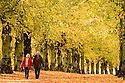 25/10/13<br /> <br /> Denis and Janet King marvel at an autumn scene of yellow Lime trees that may look very different next week after forecast storms are due to rip leaves branches and possibly fell the mature trees  along Lime Tree Avenue at Clumber Park, the longest of its kind in Europe, near Worksop, Nottinghamshire. Planted in 1840, it is two miles long with 1,296 common limes.<br /> <br /> In 1906 the trees were suffering from insect attack. To counter this a black grease bands was painted round the tree trunks to trap the insects, 100 years on the black bands are still visible.<br /> All Rights Reserved - F Stop Press.  www.fstoppress.com. Tel: +44 (0)1335 300098<br /> Copyrighted Image.
