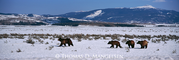 Grizzly No. 399 walks with her cubs through the soft spring snow in Grand Teton National Park, Wyoming.