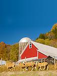 Sheep graze in Tunbridge, Vermont farmland in autumn