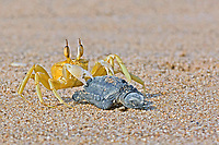 horned ghost crab or horn-eyed ghost crab, Ocypode ceratophthalmus, feasting on a tiny Olive Ridley hatchling, olive ridley sea turtle, Lepidochelys olivacea, vulnerable species, Padampeta Beach, Rushikulya Rookery, Odisha, India, Indian Ocean