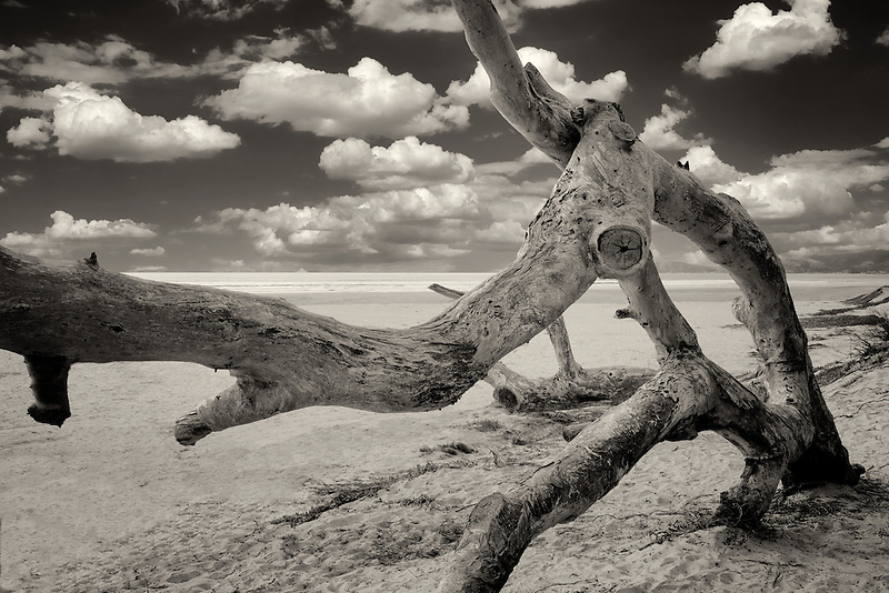 Downed tree and clouds. Pismo Beach State Park, California