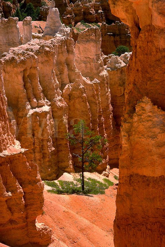 Lone pine tree among the hoodoos of Bryce Canyon National Park. Utah, Bryce Canyon National Park.