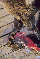 Brown bear eats sockeye salmon, Katmai National Park, Alaska
