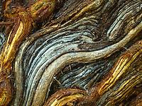 A close-up of the twisting design of a kiawe tree's bark, Kiholo Bay, Big Island of Hawai'i.