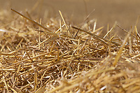 17-7-2021 Barley straw in the swath<br /> ©Tim Scrivener Photographer 07850 303986<br />      ....Covering Agriculture In The UK....