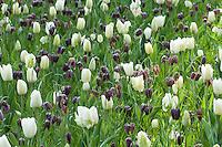 "Hollande, région des champs de fleurs, Lisse, Keukenhof, massif avec fritillaires pintade (Fritillaria meleagris) et tulipes 'Witte Rebel', 'Snow Lady', 'Darwisnow' // Holland, ""Dune and Bulb Region"" in April, Lisse, Keukenhof, Snake's Head Fritillary (Fritillaria meleagris) and tulips 'Witte Rebel', 'Snow Lady', 'Darwisnow'"