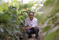 An entrepreneur inspects vines in his greenhouse in Shou Guang, Wei Yang city, Shandong, China.