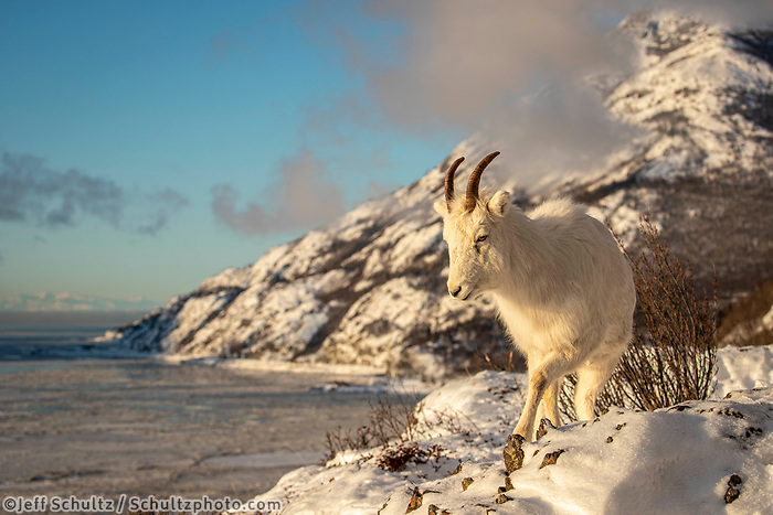 Dall sheep ewe walks along a ridgeline in fresh snow above Turnagain Arm with the Chugach Mountains in background in Chugach State Park. Winter Southcentral, Alaska<br /> <br /> <br /> Photo by Jeff Schultz/  (C) 2020  ALL RIGHTS RESERVED