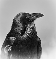 Profile of a close view of the head and shoulders of a large Raven. Picture is in black and white
