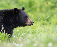 Spring is always a good time for black bear sightings. Due to the closure of the Tower Road (construction), we may have missed out on some cub of the year sightings, but we still got our fair share of photo ops.