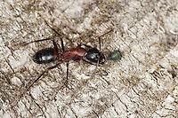 Braunschwarze Rossameise, Riesenameise, Holzzerstörende Rossameise, Ross-Ameise, Riesen-Ameise, Roßameise, mit einer Blattlaus, Camponotus ligniperdus, Camponotus ligniperda, carpenter ant