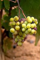 grape bunch georges duboeuf beaujolais burgundy france