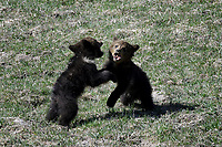 Girzzly Cubs Fighting, Yellowstone