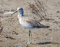 Willet in fall