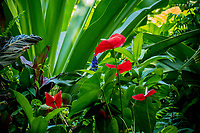 Red anthuriums at at Hawaii Tropical Botanical Garden near Onomea Bay in Papa'ikou near Hilo, Big Island of Hawai'i.