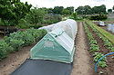 """Planting melons 3 of 5. Large polythene """"polytents"""", which are like small polytunnels, offer more space for growing melons than traditional cold frames. Cover the area of manured ground that will form the base of the polytent with plastic sheet mulch."""