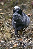 Silver Fox walking through the fall leaf litter - CA