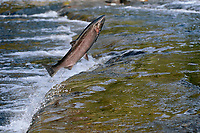 Coho or Silver Salmon (Oncorhynchus kisutch) jumping over small falls on fall spawning migration.