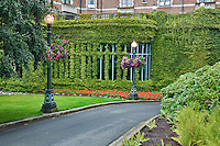 Ivy climbing on walls of Empress Hotel. Victoria, B.C.