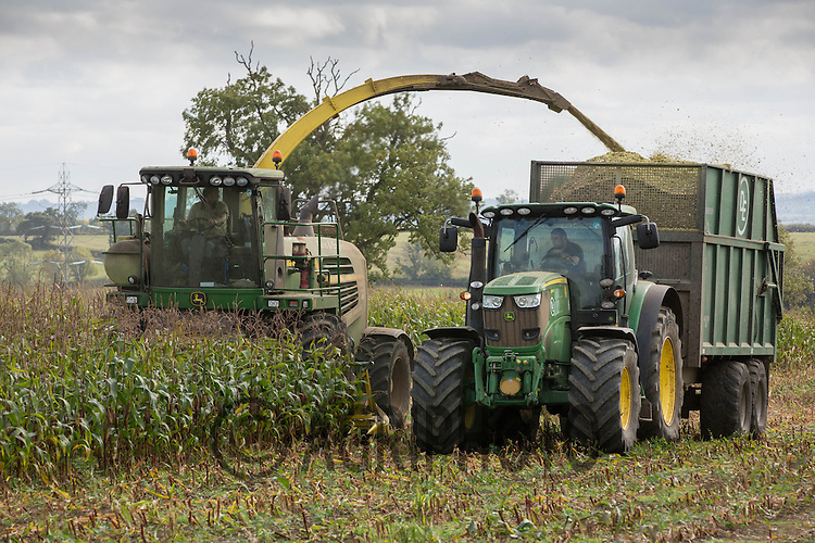 Contractors harvesting Maize for use as dairy cow feed.<br /> Picture Tim Scrivener 07850 303986