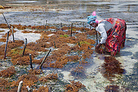 "Jambiani, Zanzibar, Tanzania.  Woman Harvesting Sea Weed, to export to Asian markets.  This work can only be done at low tide.  Women receive about twelve cents per kilo, ""thin and dried."""