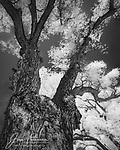 The Mayor of Cottonwoods (Infrared).  Well, I'll have to admit that I suffered a bit of a misunderstanding.  I thought this massive cottonwood tree had designs on the office of Mayor of the city of Cottonwood, Arizona -- but I was mistaken.  It actually says it's the Mayor of cottonwoods – at least those that reside near it along the Verde River in Dead Horse Ranch State Park (alongside the city of Cottonwood).  I didn't find that out until I converted its image to black and white, which revealed this tree's true intent.  And even though its status is self-proclaimed, it seems pretty credible to me that this majestic, able-bodied hardwood would be the leader of its pack.  So I wish it a successful and productive term in office!<br /> <br /> Image ©2021 James D. Peterson<br /> <br /> Tech info: Nikon D3200 camera (modified for infrared with 590nm filter), Nikon 10-24mm lens at 10mm, 1/80 sec. at f16, ISO 100