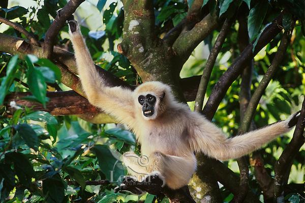 Male white-handed gibbon or common gibbon (Hylobates lar), S.E. Asia.