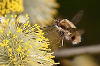 Hummelschweber, Wollschweber, Bombylius spec., Blütenbesuch an Sal-Weide, Saugrüssel, Nektarsuche, Blütenbestäubung, beeflies, beefly