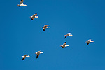 Sonny Bono Salton Sea National Wildlife Refuge, Salton Sea, California; eight Snow Geese (Chen cairulescens) flying in formation overhead, during their migration