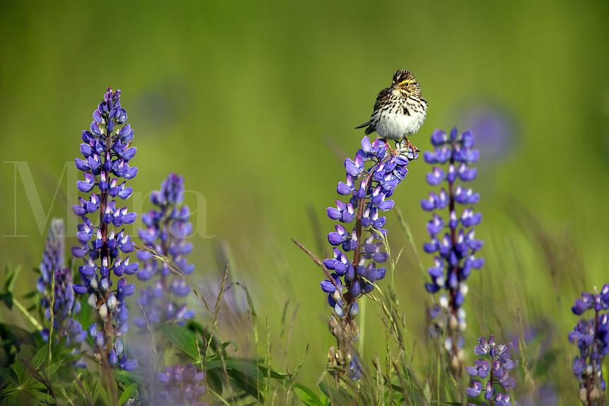 Savannah Sparrow perched on Lupine, Kenai Peninsula, Chugach National Forest, Alaska