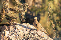 A Mourning Dove, Zenaida macroura, perches on a rock in Saguaro National Park, Arizona