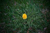 Flowering dandelion in Midwest fescue yard.