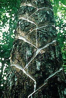 Cuts in bark on balata tree Manilkara bidentata (Sapotaceae) to collect balata latex in tropical rain forest, Para, Brazil