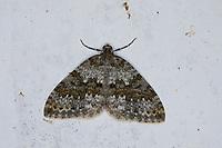 Winkelzahn-Gebirgs-Blattspanner, Winkelzahn-Gebirgsblattspanner, Entephria infidaria, Larentia infidaria, Barred-grey Carpet, Spanner, Geometridae, looper, loopers, geometer moths, geometer moth