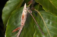Gemeine Weidenjungfer, Weibchen, Chalcolestes viridis, Lestes viridis, Willow Emerald Damselfly, Binsenjungfer