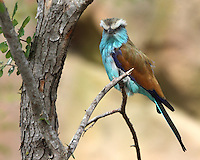 The Racket-tailed Roller (Coracias spatulatus) is a species of bird in the Coraciidae family. It is found in Angola, Botswana, Democratic Republic of the Congo, Malawi, Mozambique, Namibia, South Africa, Swaziland, Tanzania, Zambia, and Zimbabwe.
