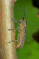 Kleiner Pappelbock, Espenbock, Kleiner Aspenbock, Weibchen bei der Eiablage, Saperda populnea, Small poplar longhorn beetle, Small poplar borer