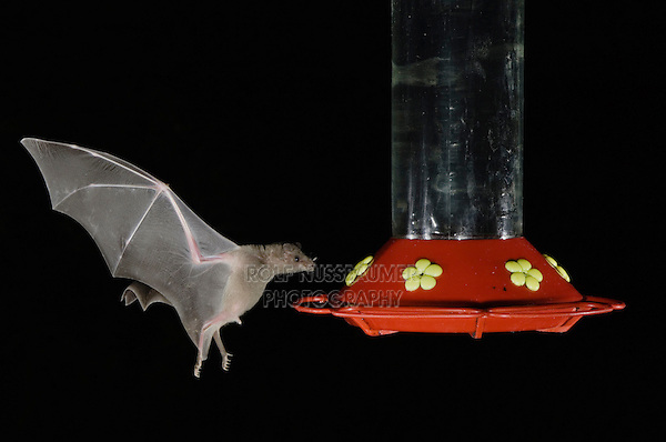 Lesser Long-nosed Bat, Leptonycteris curasoae, adult in flight at night feeding on Hummingbird feeder,Tucson, Arizona, USA