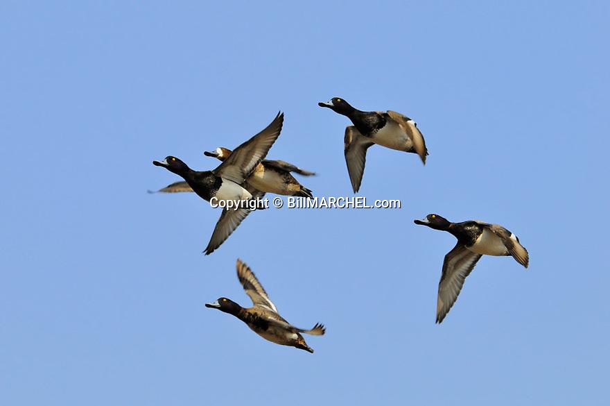 00342-012.20 Lesser Scaup flock in flight.  Bluebill, hunt, waterfowl, wetland.