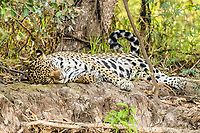 an adult female jaguar, Panthera onca, resting on the riverbank, Rio Negro, Mato Grosso, Brazil, South America