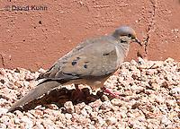 0611-1108  Mourning Dove in Arizona Desert (Sonoran Desert), Zenaida macroura  © David Kuhn/Dwight Kuhn Photography
