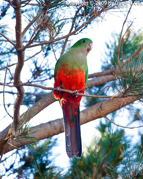 King Parrot female, Lithgow Crv Pk, Lithgow, Blue Mtns, NSW, Australia
